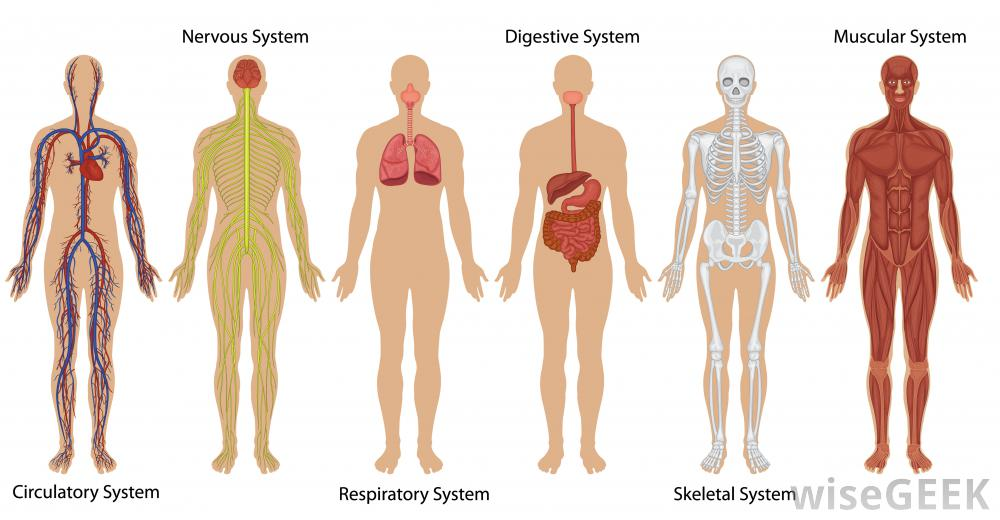 illustration-of-six-human-body-systems-on-skeleton